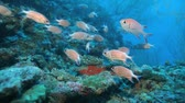 animal : School of Crown squirrelfishes (Sargocentron diadema), Maldives Stock Footage