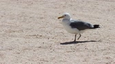 feathering : Big white seagull walking along a deserted shell beaches on the background of blue sky and sea surf waves and looking for food. Stock Footage