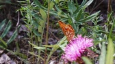 borboleta : Butterfly flew on purple flower in it and ische nectar.