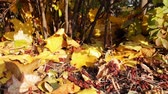 назад : Colonies of red soldier bug crawling in yellow autumn leaves in bright sunlight near the bushes. Стоковые видеозаписи