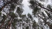 silence : The tops of Christmas trees, pine forest in the summer swaying in the wind.