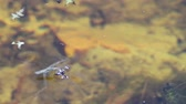 kova : A small pond skater Close-up on the surface of the water touches a spider had fallen into the river. Stok Video