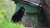 doghouse : Dog on a Chain near Doghouse Stock Footage
