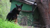 wood : Dog on a Chain near Doghouse Stock Footage