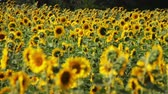 colorful : Sunflowers in the Field