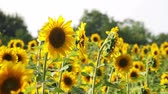 botany : Sunflowers in the Field