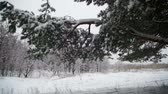 浪漫 : Snow Falling from the Snow-Covered Christmas Tree Branches in Winter Day. Slow Motion 影像素材