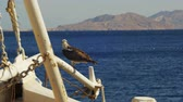 эт : Marine Bird of Prey Osprey Sits on the Mast of the Ships Bow Against Background of Red Sea Стоковые видеозаписи