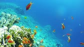 sasanka : Beautiful Colorful Tropical Red Fish on Vibrant Coral Reefs Underwater in the Red Sea Dostupné videozáznamy