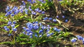 kar taneciği : First Spring Flowers Blue Snowdrops in the Woods Stok Video