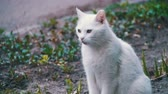 abandoned alley : Stray White Cat on the Ground in the City Park. Slow Motion Stock Footage