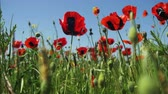 windy : Blossoms Red Poppies in the Field Swaying in the Wind on Background of Mountains Stock Footage