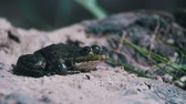 amphibious : Green Frog Sitting on a River Bank and Jump in Water. Slow Motion