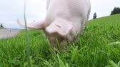 apropriado : Pink Pig Walks and Eats Roots on a Green Meadow in the Mountains of Austria