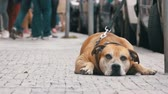 houseless : Faithful Miserable Dog Lying on the Sidewalk and Waiting Owner. The Legs of Crowd Indifferent People Pass by