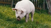 season : Pink Pig Walks and Eats Roots on a Green Meadow in the Mountains of Austria