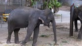pachyderm : Elephants in a zoo with chains chained to their feet. Slow Motion. Thailand. Asia