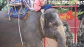 tusks : Tourists ride on elephants. Elephant farm in Thailand, Pattaya. Slow Motion Stock Footage