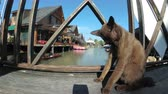 pattaya : Brown Cat Resting and Licking Lying on Wooden Pier in the Pattaya Floating Market. Thailand