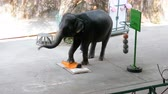 young elephants : Performance of elephants on the elephant show. Elephants perform various tricks for spectators.