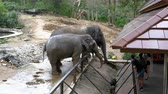 fildişi : Two elephants in the pen in Khao Kheow Open Zoo. Thailand Stok Video