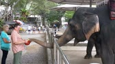слоновая кость : Tourists feed elephants in the zoo. Thailand. Asia. Стоковые видеозаписи