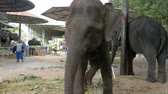 kalın derili hayvan : Elephants in a zoo with chains chained to their feet. Thailand. Asia Stok Video
