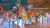 пантеры : Four tigers lie on the circus arena. Thailand Стоковые видеозаписи