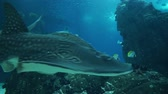 Underwater shot of Grey Reef and Whale Shark, close encounter. Dostupné videozáznamy