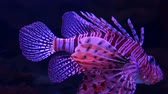 aquarium : Lion fish in aquarium with dark background. Stock Footage