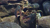 Spiny lobster underwater under a coral reef ledge