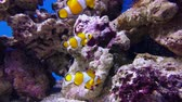 falso : False clown anemonefish or nemo Amphiprion ocellaris