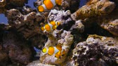 sasanka : False clown anemonefish or nemo Amphiprion ocellaris