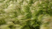 Green field close up of barley blowing in the wind