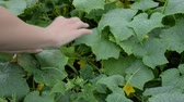 collects : womans hands looking for fresh green cucumbers on a garden bed