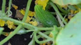 harvest : fresh young green cucumber among foliage on a garden bed