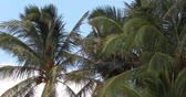 Low angle shot of the tops of palm trees swaying in the breeze with blue sky and white clouds in the background Vídeos