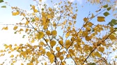yellow leaves on blue sky background autumn view Stock Footage