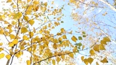 autumn leaves on birch tree and blue sky as natural background Stock Footage