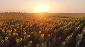 landscape over a beautiful sunflower field in sunset.  nature landscape. Wideo