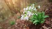 Snowdrop in forest. Beautiful nature composition. Wideo