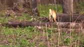 yellow dog : yellow dog looks around in a spring forest and walks through fallen trees