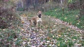 attentiveness : yellow dog stands in the autumn forest and merges against the background of the fallen yellow leaves
