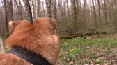 yellow dog : yellow dog stands on a background of spring forest flowers and a spring forest. Stock Footage