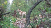 yellow dog year : yellow dog stands on a forest path. Autumn. Many fallen yellow leaves