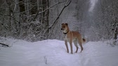 winter tree : yellow dog stands in the winter forest. Its snowing, the ground and the trees are covered with snow Stock Footage
