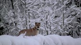 yellow dog year : yellow dog stands in the winter forest. Its snowing, the ground and the trees are covered with snow Stock Footage