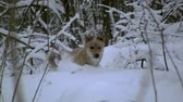 yellow dog year : yellow dog wanders through deep snow in a winter forest