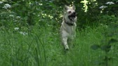 yellow dog : a dog with yellow hair running through a summer forest in a tall grass