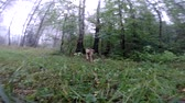 yellow dog year : A yellow color dog runs around the video camera in the forest.